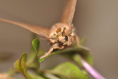 philippine dead leaf moth (DOLCEVITALUX) Tags: deadleafmoth moth insect insects philippines