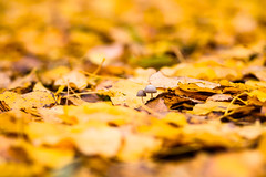 autumn ambiance (lumofisk) Tags: dof herbst pilz autumn closeup color depthoffield fall fungus leaves mushroom outdoor yellow nikondf 0mmf0 135mm