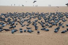 Marina Beach Pigeons (Saravanan Ekambaram) Tags: marina beach marinabeach sunrise pigeons chennai madras landscape