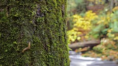 Slug on a Tree (Sam Wagner Photography) Tags: autumn fall colors porcupine mountains michigan upper peninsula travel tourism nature trees leaves changing timelapse water motion smooth slug bug insect crawl