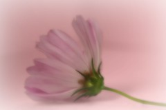 softly spoken... (ykaren89) Tags: soft cosmos flower nature pink abstract canon