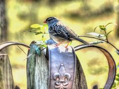 Crown and the Sparrow (clarkcg photography) Tags: sparrow crown fleurdelis flower metal least bird feather beak tail vine leaf landscape wildlife play faunasunday7dwf 7dwf