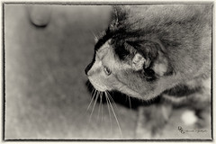 Isis in Silver (Donald.Gallagher) Tags: animals cats de delaware fall felines horizontal isis lenstagger mammals niksilverefexpro2 nature northamerica pikecreek tortoiseshell typeblackwhite typeportrait typeshutterbuttonfocus usa woodcreek