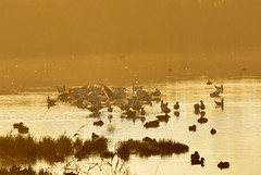 On Golden Pond. (pstone646) Tags: nature sunrise wildlife ducks animals birds fauna water lake kent stodmarsh mist reflections