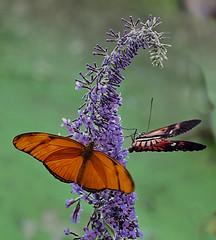 Butterfly (7) (hajavitolak) Tags: a7 csc captureone evil fullframe fx ilce7m2 milc mirrorless sinespejo sony sonya7ii sonya7m2 emount butterfly mariposas naturaleza nature bokeh color macro tamron tamron9028 wow