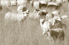 (B Plessi) Tags: gualdo macerata marche italia cane pecore gregge troupeau mouton