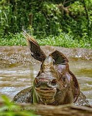 DSC_1926_edited-3s (Photos by Kathy) Tags: cincinnatizoo animals zoo zoos nature kathymoore nikon2000 greateronehornedindianrhino rhinosarus rhino