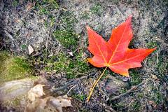 Singled out (Paul Sirajuddin) Tags: fall autumn leaves red colors weather ground single leaf