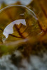 Bubble leaf (lnoelle89) Tags: catnip bubbles leaf fall autumn macro canon6d photography eos 100mm colours faithful temperature reflection