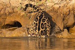 Jaguar (Panthera onca) 2/5 (Jeluba) Tags: 2016 brazil brsil canon jaguar matogrosso pantanal nature wildlife panthersonca hunting mammal flin mammifre animal horizontal