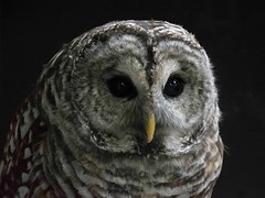 Barred owl (Adriana Faciu) Tags: detail feathers macro closeup eyes nature rescued barred barredowl bird owl