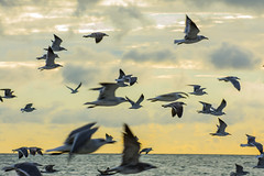 DSC_0127 (akNY) Tags: gulls seagulls sunset sea ocean flight flying birds flock