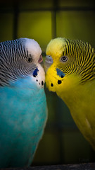 Heart's Chord (NEXtographer) Tags: gulfbreeze emount sony a7rii mirrorless zoo florida animal bird feathers color kiss love lifeboy girl budgie parakeet pink blue yellow