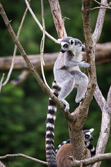 Ring tailed lemur in a tree (Cloudtail the Snow Leopard) Tags: katta zoo augsburg tier animal mammal sugetier primat affe lemur monkey ring tailed catta