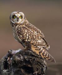 Happy Halloween! (Short-Eared Owl) (The Owl Man) Tags: