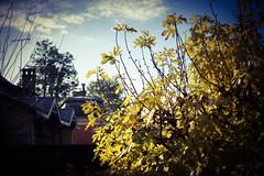 (François wry) Tags: winter hiver figuier loire