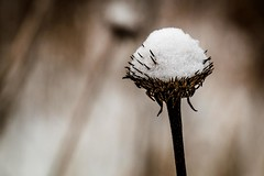 A Little Snow on Top (Anymouse02) Tags: snow seeds echinacea