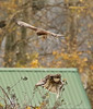 Northern harrier & Red tailed Hawk (crmchees) Tags: northern harrier red tailed hawk whit rock