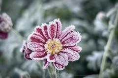 Frosty morning (dareangel_2000) Tags: dariacasement northernireland codown frost freeze ice icy jackfrost winter