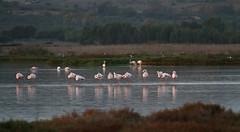 Flamingoes (jan.stefka) Tags: canoneos7d stagnodimistras sardegna sardinie 2016 sardinia