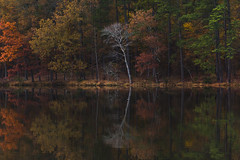 Silver Tree Reflection (Ginny Williams Photography) Tags: reflection fall autumn colors raleighnorthcarolinaphotographer raleighnc raleighncphotographer raleighncblogger silver tree lake tranquil mood scene landscape landscapes durantnaturepark