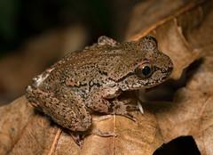 (Tony P Iwane) Tags: ascaphustruei amphibian amphibians california coastaltailedfrog fieldherping frogs herping herps humboltcounty macro tailedfrog wildlife