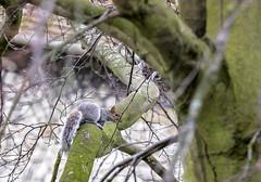 Squirrel Dash Cam (gardengeorgie) Tags: farnham surrey squirrel path church