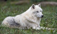 Lying arctic wolf (Tambako the Jaguar) Tags: lying grass resting portrait wolf canine canid white actic polar parcanimalier saintecroix park parc rhodes zoo france nikon d5