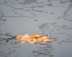 Transition (Nic.Allen.Birder) Tags: leaf fall winter water ice freezong transition michigan cold nature outdoors