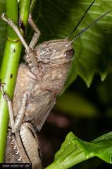 Anacridium aegyptium (Locusta egiziana).jpg (frillicca) Tags: 2010 acrididae anacridiumaegyptium april aprile cricket egyptianlocust insect insetto locusta locustaegiziana macro macrofotografia ortottero insetti cavalletta orthoptera