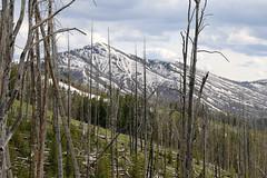 Yellowstone landscape (ferrosette) Tags: alberi bruciati panorama yellowstone natura