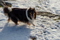 Noomi (Jori Samonen) Tags: animal pet dog collie noomi winter snow rock plant pihlajamäki helsinki finland nikon d3200 180550 mm f3556