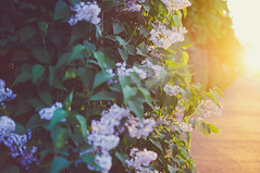 Lilacs (jennydasdesign) Tags: flowers light sunset summer sunlight nature leaves 50mm evening dof blossom sweden bokeh schweden grain beautifullight naturallight lilac lensflare sverige blommor goldenhour goldenlight syringavulgaris primelens syrn dt50mmf18sam sonyslta57
