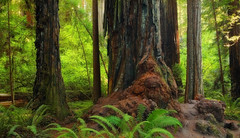 Stout Grove: Big and small (Shahid Durrani) Tags: state grove parks smith national redwood redwoods stout jedediah
