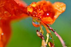 BUG OR FLOWER (mutter2009 *OFF*) Tags: macro drops honeysuckle coth nikond60 macromarvels