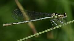 White-legged Damselfly (mickd410) Tags: whiteleggeddamselfly
