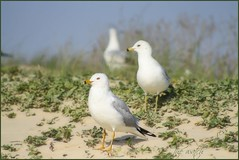 ~the watch~ (itsjustme1340-Ress) Tags: seagulls happyweekend thewatch