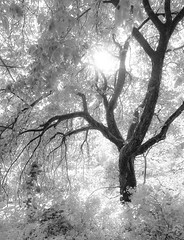 Ethereal (Gabriel Tompkins) Tags: seattle park wood trees sky blackandwhite bw usa sun sunlight white tree texture nature monochrome leaves silhouette ir blackwhite wooden washington leaf spring flora nikon soft bright branches foliage fantasy bark lensflare flare infrared pacificnorthwest dreamy highkey nikkor washingtonstate pnw 2009 emeraldcity starburst 18105 madisonpark sinuous fauxir d90 washingtonparkarboretum fauxinfrared starpoints 18105mm nikond90 18105mmf3556gvr tronam gabrieltompkins tronamcom