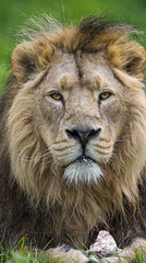 Nice portrait of the male Asiatic lion
