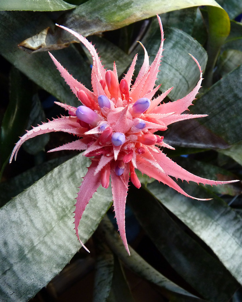 The world 39 s best photos of aechmea and fasciata flickr for Aechmea fasciata