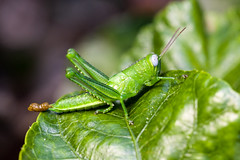 Grasshopper (voidboi) Tags: macro green insect leaf flickr poop grasshopper