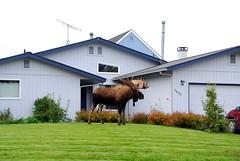 Alaska Anchorage Urban Moose (MarculescuEugenIancuD5200Alaska) Tags: alaska anchorage urbanmoose