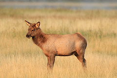 Show Stealer  _27W9041a (DennisKirkland) Tags: morning wild nature canon river outside outdoors wildlife young meadow sunny editorial chewing rockymountain elk calf youngster broadside dennisekirkland