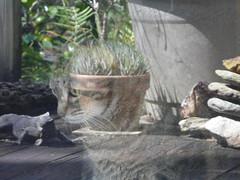 Cat Dreams (alansurfin) Tags: pet reflection window glass face cat kat feline dream kitty dreaming gatto gatta