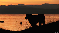 Newfoundland Dog (C McCann) Tags: sunset dog canada west beach vancouver newfoundland island bc columbia victoria british juandefuca strait esquimalt flemming