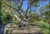Brachychiton Rupertris (GarryBoggan) Tags: sydney australia sydneybotanicalgardens queenslandbottletree nikond90 garryboggan brachychitonrupertris