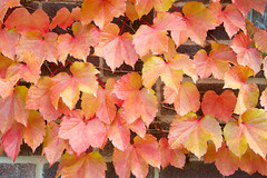 Vines Taking Over (giantmike) Tags: autumn red building fall leaves yellow gold vines madison growing wi canonef24105mmf4lis