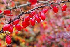 Autumnal Red Berries (Lens Daemmi) Tags: red berlin rot germany deutschland berries olympus waterdrops beeren wassertropfen epl6