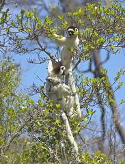 DSC06802.Dancing lemur. Verreaux's sifaka. Zombitse National Park. RN 7, Madagaskar. (Berit Christophersen) Tags: wildlife sony lemur madagascar verreauxi madagaskar sifaka verreauxssifaka propithecus zombitsenationalpark