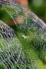 W E B (hibru) Tags: bw india black macro spider blackwhite hp nikon web spiderweb sigma drop 150 lowkey indroda gandhinagar gujarat sigma150 hibru d7000 hp05220 indrodanatureparkrainraindroprain